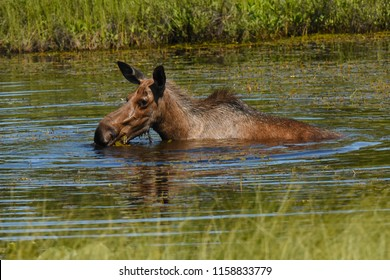 Near Denail National Park, Alaska. USA. June 30, 2017. Moose female eating aquatic vegetation.