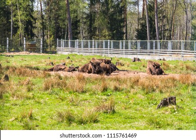 "near Kamenyuki, Belarus - April 29, 2018: - April 29, 2018: bison in open-air cages in the ""Belovezhskaya Pushcha"" National Park,  the last primaeval forest fragment of the European woodlands"