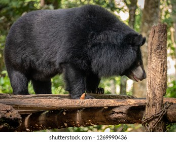 near luang prabang, laos - 11 20, 2018: collar bear