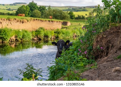 Near Skipton, North Yorkshire, England, UK - June 06, 2018: Cows on the shore of the River Aire