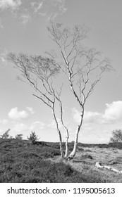 Near the top of a small hill on Stanton Moor in Derbyshire stands a tall spindly Silver Birch.