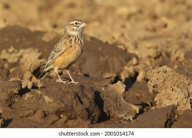 Near-endemic Pink-billed Lark drinking at a small waterhole near Cradock, South Africa