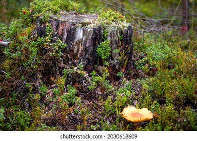 In nearhood of fallen trees is it a common sight to see mushrooms who living on the moldering tree