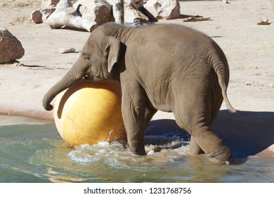 Nearly newborn baby elephant playing in his zoo pond with a big yello ball