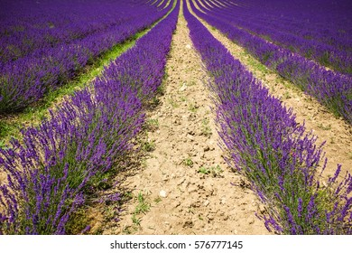 Neat purple lavender field with numerous plants in Provence