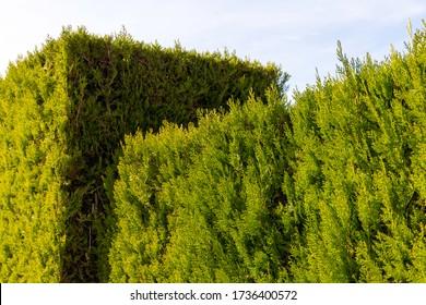 A neatly clipped cedar hedge in a formal garden.