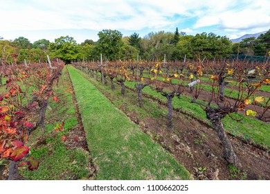 neatly tended vinyard in the country with vines pruned for spring