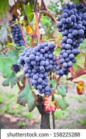 Nebbiolo vineyard. Nebbiolo is a red Italian wine grape variety.