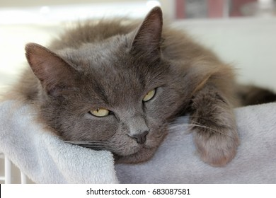 Nebelung Cat laying down closeup face