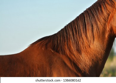 Neck of a chestnut horse in the evening light. Body part of an animal.