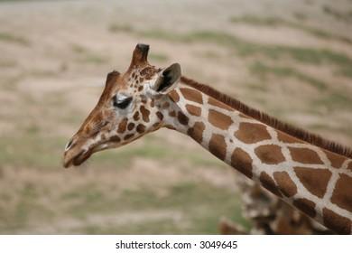 Neck and head of a giraffe