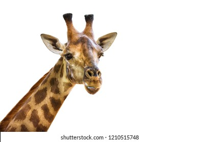 neck and head of the giraffe isolated on white background