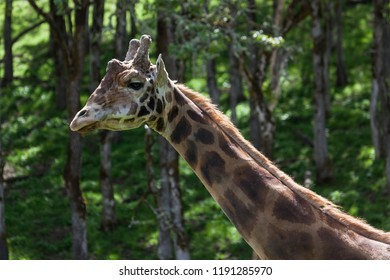 The neck and head of a large adult giraffe in the sunshine with a forest of oak trees and spring flora in the background.