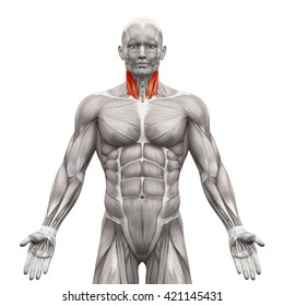 Neck Sternal and Clavicular Head - Anatomy Muscles isolated on white - 3D illustration
