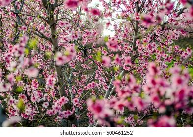 nectarine blossom, golan heights, israel