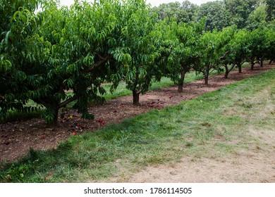Nectarine orchard on the farm