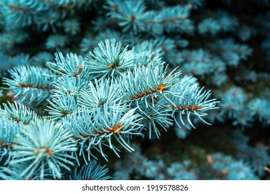 needles of a blue pine