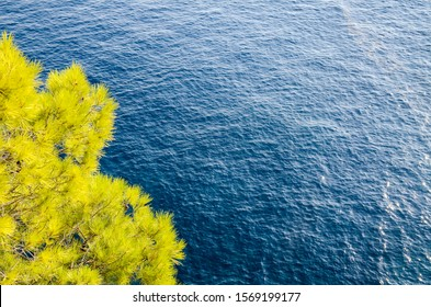 Needles and branches of Pine tree sways in the wind near the sea. Pine tree branch in breeze at sunset. Green tree in nature. Evergreen. Coniferous forest on the beach