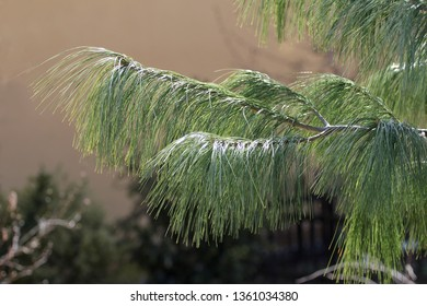 needles of conifer