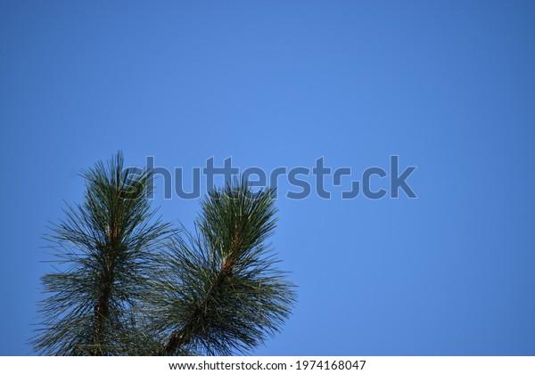 needles-conifer-600w-1974168047.jpg