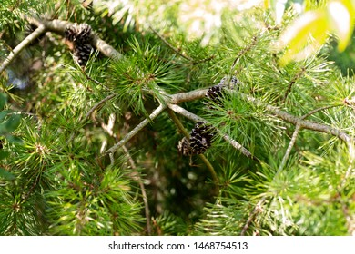 Needles of eastern white pine (Pinus strobus) native to eastern North America with pine cones.
