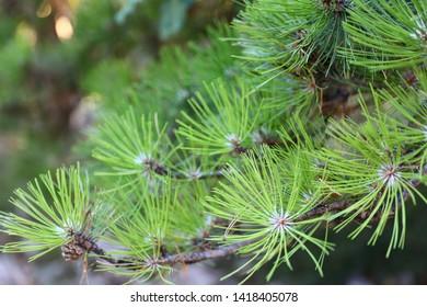 Needles of a scotch fir