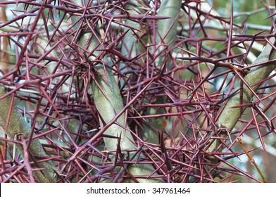 Needles, thorns thorns. Honey Locust
