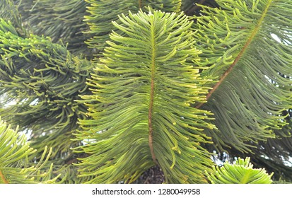 The needles of the tree - Araucaria. Close-up. Background, texture.