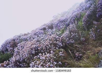 Neelakurinji flowers of Ooty India