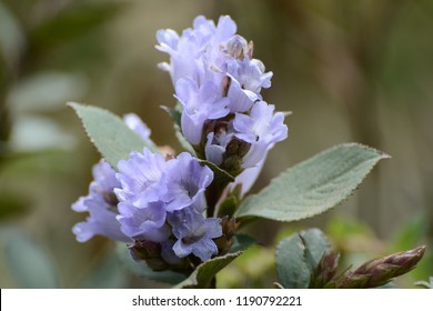 Neelakurinji (Strobilanthes kunthianus) is a shrub that is found in the Western Ghats in South India. The purplish blue flowers of Neelakurinji blossom only once in 12 years.