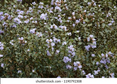 Neelakurinji (Strobilanthes kunthianus) is a shrub that is found in the Western Ghats in South India.  the purplish blue flowers of Neelakurinji that blossoms only once in 12 years.