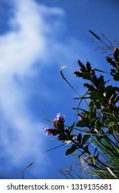 """Neelakurinji (Strobilanthus kunthiana) blooms of Eravikulam National Park, Munnar, Kerala, South India"""
