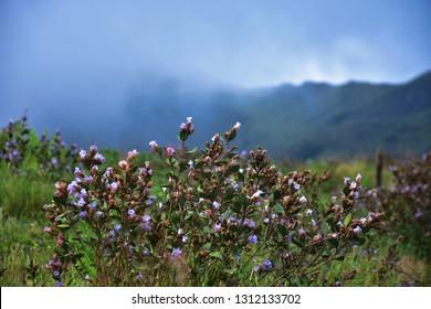 """Neelakurinji (Strobilanthus Kunthiana) blossoms of Eravikulam national park, Munnar, Kerala, South India"""