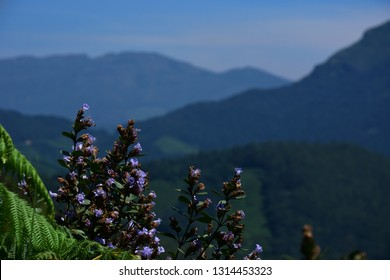 """Neelakurinji (Strobilanthus Kunthiana) blossoms of Eravikulam National Park, Kannan Devan Hills, Munnar, Kerala"""
