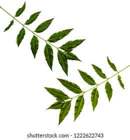 Neem leaves used as ayurvedic medicine. Used in skin care, beauty products and creams.