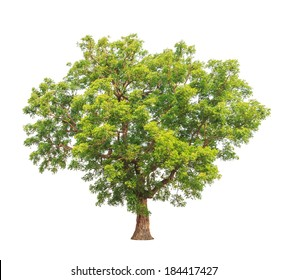 Neem plant (Azadirachta indica), tropical tree in the northeast of Thailand isolated on white background