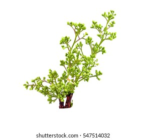 Neem tree flowers on white background