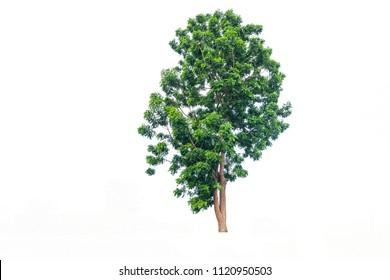 neem tree Isolated  on white background