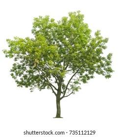 neem tree isolated on white background.