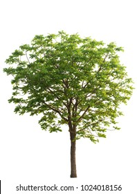neem tree isolated from white background