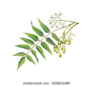 Neem tree leaf, flowers and fruit pencil illustration isolated on white
