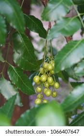 Neem, Neem tree, Nim, Margosa, Quinine, Holy tree, Indian margosa tree, Pride of china, Siamese neem tree