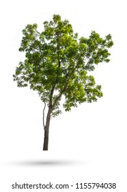 The Neem tree, Nim, Margosa, Quinine, Holy tree, Indian margosa tree, Pride of china, Siamese neem tree (Azadirachta indica Juss) isolated on white background whit clipping path