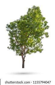 The Neem tree, Nim, Margosa, Quinine, Holy tree, Indian margosa tree, Pride of china, Siamese neem tree (Azadirachta indica Juss) isolated on white background whit clipping path
