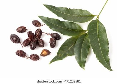 Neem, Neem Tree, Nim, Margosa, Quinine, Holy tree, Indian Margosa Tree, Pride of china, Siamese Neem Tree (Azadirachta indica A.Juss.) Leaves and seeds.
