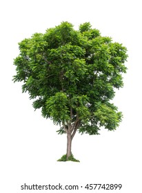 Neem tree in nortern of thailand, isolated on white background, Azadirachta indica or holy tree image.