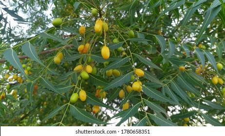 Neem tree with yellow fruits. Azadirachta indica seeds hanging on tree, Indian powerful ayurvedic medicine tree