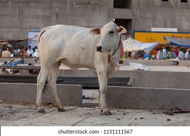 Neemuch, India - April 30, 2018: young white Indian cow visits the fruit and vegetable market