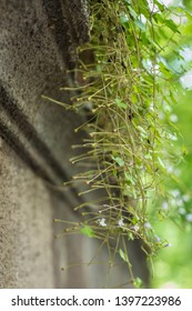 Negative phototropism of seeds of Cymbalaria muralis