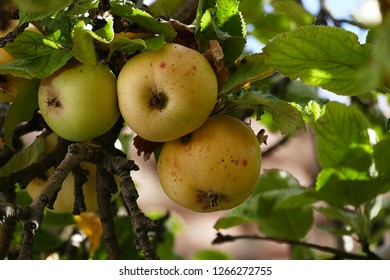 Apple Diseases Pictures